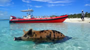Swim with the pigs in Freeport Bahamas